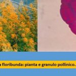 allergia acacia polline studio ariano Bordighera