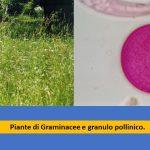 Allergia alle graminacee studio medico allergie Ariano Bordighera