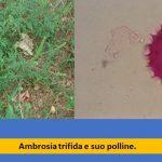 allergia ambrosia polline studio ariano Bordighera Sanremo