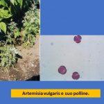 allergia artemisia polline studio-allergologia ariano bordighera