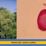 allergia betulla polline studio rimedi allergie Ariano Bordighera.jpg