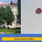 allergia carpino polline studio per curare allergie Ariano Bordighera