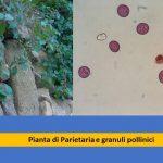 allergia parietaria polline studio medico allergie Ariano bordighera