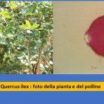 allergia quercia polline studio renato Ariano
