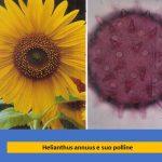 allergie heliantus girasole studio medico allergologico Ariano Bordighera