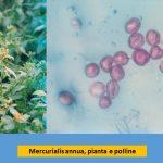mercurialis annua e pollini